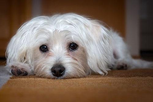 Wspaniały Najlepsze rasy psów do niewielkich mieszkań - Blog JL38